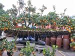 Tuyệt phẩm cổ vật đại dương xôn xao thị trường cây Tết Thủ đô