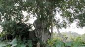 Nghệ An: Ngất ngây với siêu phẩm cây sanh thế