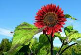 """Hoa hướng dương đỏ rực: Chị em săn """"của lạ"""" trồng sau Tết"""