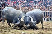 Lễ hội chọi trâu Vĩnh Phúc: Sẽ không còn giết mổ trâu chọi để bán?