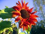Gợi ý cách trồng hoa hướng dương đỏ đang gây sốt