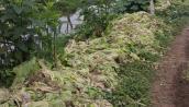 Thảm cảnh hàng tấn rau củ bị nhổ bỏ vì ế ẩm