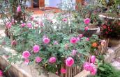 Ngắm những gốc hồng cổ siêu đắt đỏ của đại gia Việt