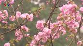 10.000 cành hoa anh đào khoe sắc tại Hà Nội