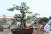 Chiêm ngưỡng cây khế 200 năm tuổi giá 6 tỷ đồng ở Phú Thọ