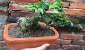Mê tít những chậu bonsai duối mini siêu đẹp