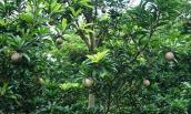 Vườn hồng xiêm trĩu quả thu bạc triệu của nông dân Tiền Giang