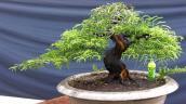Mê mẩn loạt me bonsai mini đẹp hút mắt