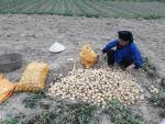 Hàng tấn khoai tây ế chờ