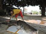 Đi câu trên sông Sêrêpốk, bất ngờ bắt được 2 con cá lăng khổng lồ