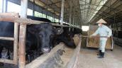 Giống bò đắt nhất thế giới được nuôi tại Việt Nam như thế nào?