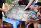 Hành trình đưa cá trắm đen khủng nhất Việt Nam lên bàn tiệc