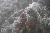 Bông đỗ quyên rực lửa thành hoa tuyết trên đỉnh Fansipan