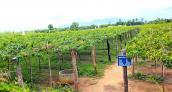 Mướt mắt vườn nho miễn phí độc nhất vô nhị ở Ninh Thuận