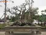 Siêu phẩm cây đa cổ trăm tuổi bạc tỷ của đại gia Hà Nội