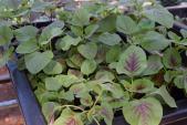 10 loại rau củ đón hè nên trồng trong tháng 4