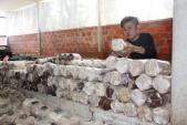 9X trồng nấm sò kiếm 18 triệu/tháng