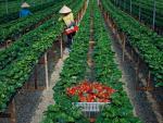 Ngắm vườn dâu tây sai trĩu quả kiếm bộn tiền ở Mộc Châu