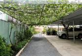 Bất ngờ vườn nho sạch bạc triệu giữa phố chật Sài Gòn