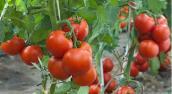 Không ngờ ăn cà chua nhiều lại nguy hiểm thế này!