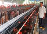Cho gà siêu trứng nghe nhạc trữ tình, thu nhập 1,5 tỷ /năm