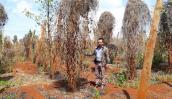 Thương lái lén lút thu mua rễ tiêu ở vùng dịch bệnh