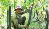 Nghệ An: Bí xanh 2.000 đồng/kg vẫn không ai mua