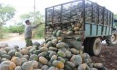 Bí đỏ rớt giá còn 800 đồng/kg, người dân Đắk Lắk chờ... giải cứu