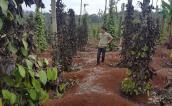 Vì sao nhóm giang hồ đòi trăm triệu tiền bảo kê vườn tiêu lộng hành?