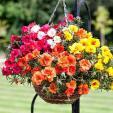 Hoa mười giờ nở rực sân nhà nhờ cách chăm đơn giản này