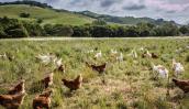 Nhờ nuôi gà lấy trứng, ông Tây thu nhập hơn 2.200 tỷ/năm