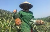 Dứa Việt 2.000 đồng/kg thối đầy đồng, nhà giàu ăn dứa ngoại 300.000/quả