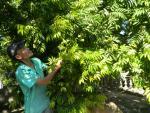 Phát hờn vì... thèm khi về làng sấu 2000 cây ở Hưng Yên