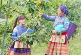 Lạc vào vùng đất cành lê thấp tè trĩu quả, mận chín tím cây