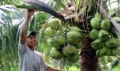 Mỗi tháng thu hơn 10 triệu từ vườn dừa xiêm xanh trái sai quá trời