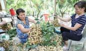Người trồng nhãn Hưng Yên lên tiếng về thông tin nhãn 4.000 đồng/kg
