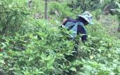 Đặc sản ớt xiêm rừng nổi danh đất Quảng Ngãi khó mua hơn vàng