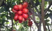 """Loài cây quả máu ăn đẹp da ở Mào Sán Cáu vẫn trong vòng """"bí ẩn"""