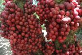 Cận cảnh vườn dâu đỏ