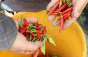 Malaysia tạm dừng nhập khẩu ớt Việt Nam