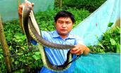 Khoanh lưới gần 2.000 con rắn loang lổ ở Hậu Giang