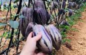 Độc đáo dưa hấu màu tím lần đầu xuất hiện ở Việt Nam