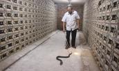 Hợp tác xã nuôi đàn rắn hổ mang cực độc lên tới 30.000 con