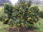 Quên đường về khi lạc vào những vườn cam chín rộ ở Sơn La