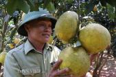 Vườn bưởi chi chít trái chín vàng ruộm ở vùng đất Yên Châu