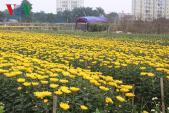 Làng hoa Tây Tựu tất bật vào vụ hoa Tết