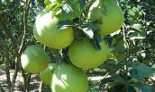 Cách chọn loại quả mà nhà nào cũng phải mua thắp hương ngày Tết