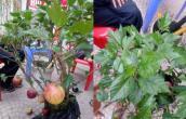 Siêu phẩm đón Tết Kỷ Hợi: Táo trĩu quả trên cây dâm bụt