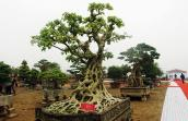Cây bồ đề trăm tuổi độc nhất Việt Nam, 2 tỷ không mua nổi