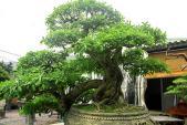 Ngắm vườn bonsai cực chất giá trăm tỷ ở Bình Định